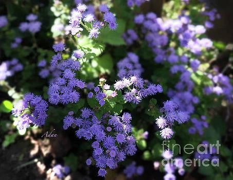 Felipe Adan Lerma - Dorset Street Vermont Community Gardens Violet Blooms
