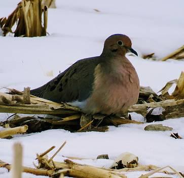 Dove by David Bannwart