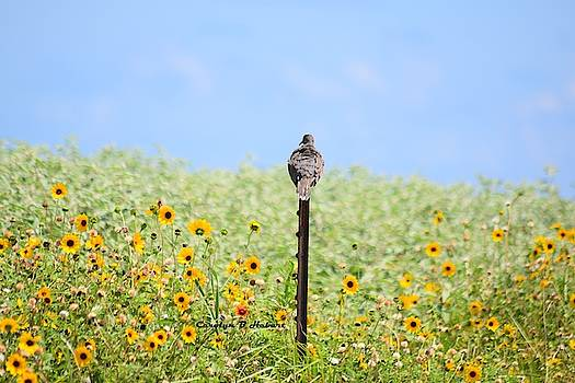 Dove On Fence Post Looking Over Field of Sunflowers by Carolyn Hebert
