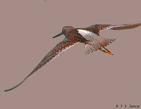 Dowitcher In Flight  by Tom Janca