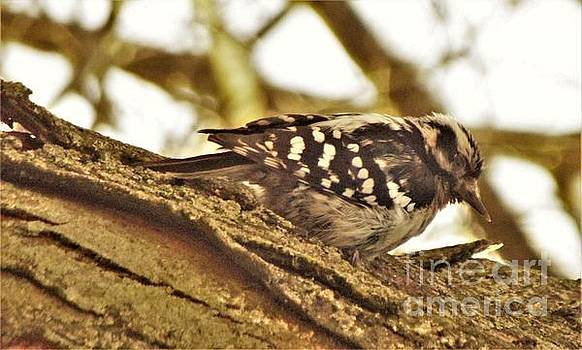 Downy Woodpecker Female        Spring          Indiana by Rory Cubel