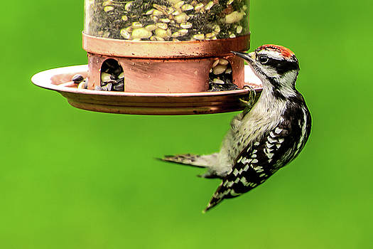 Downy Woodpecker Hanging On by Onyonet  Photo Studios