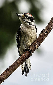 Downy Woodpecker Posing For The Camera by Cindy Treger