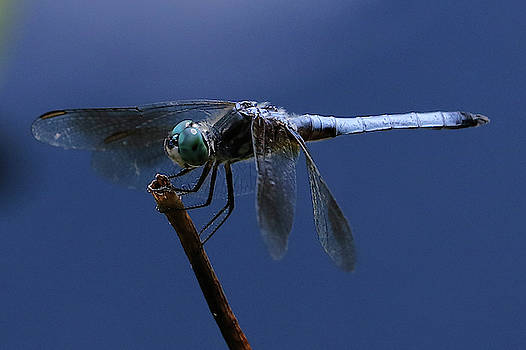 Dragonfly Blues by Doris Potter