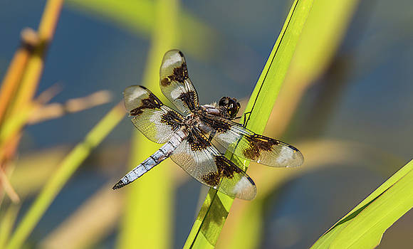 Dragonfly by Pond by Marv Vandehey