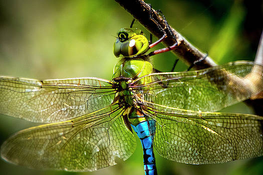Dragonfly Closeup by David Morefield