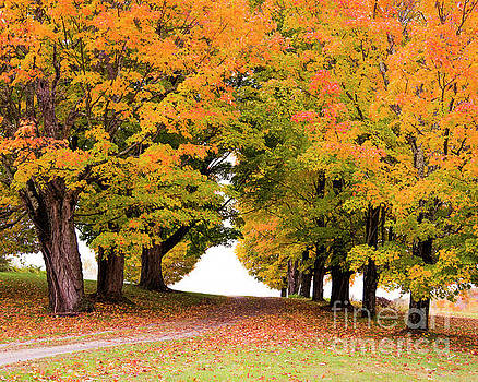 Driveway Lined with Maples by Alana Ranney