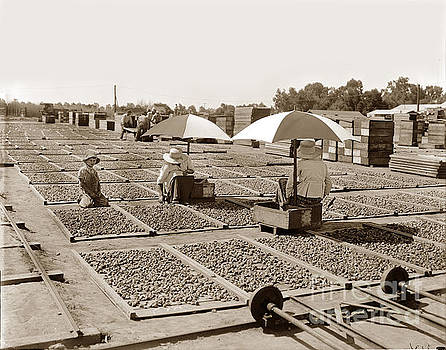 California Views Archives Mr Pat Hathaway Archives - Drying figs Circa 1910