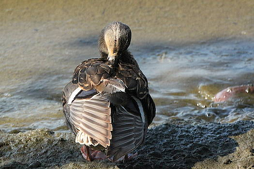 Duck doing some cleanup, Lake Ontario. by Gerald Salamone