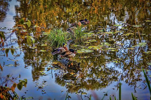 Duck dreams #i0 by Leif Sohlman