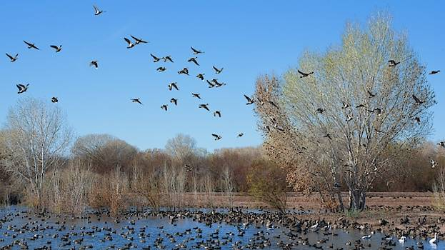 Duck Flight by Allan Van Gasbeck