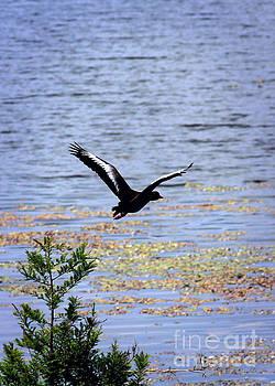Diann Fisher - Duck In Flight