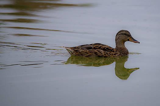 Duck  by Khalid Mahmoud