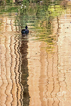 Duck on Reflections by Kate Brown