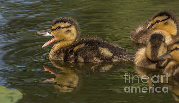 Duckling with Something to Say by Marv Vandehey