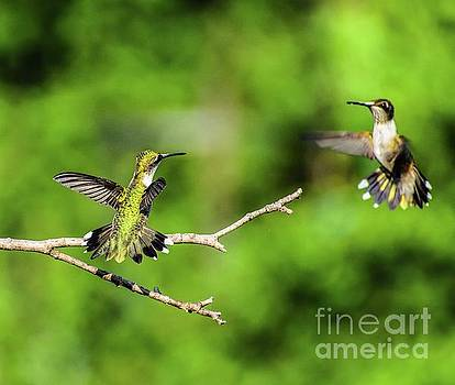 Dueling Ruby-throated Hummingbird Series #2 by Cindy Treger