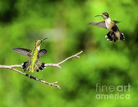 Dueling Ruby-throated Hummingbird Series #3 by Cindy Treger