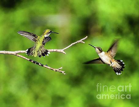 Dueling Ruby-throated Hummingbirds Series #1 by Cindy Treger