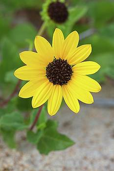Dune Sunflower by Paul Rebmann