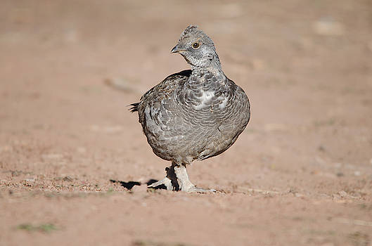 Dusky Grouse by James Petersen