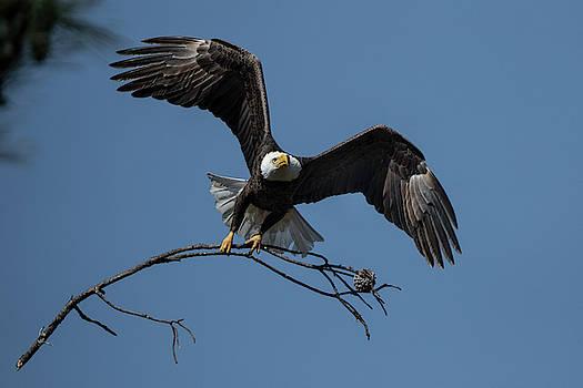 Eagle by Chris Dahl