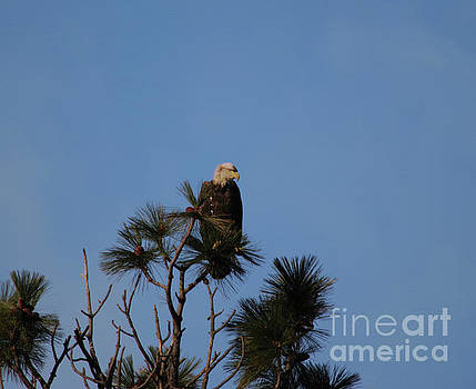 Eagle gazing from the top of a tree by Jeff Swan