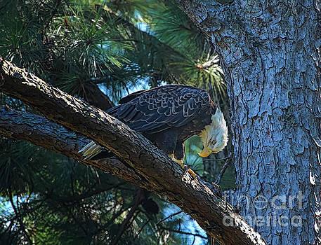 Eagle in a Tree by Warrena J Barnerd