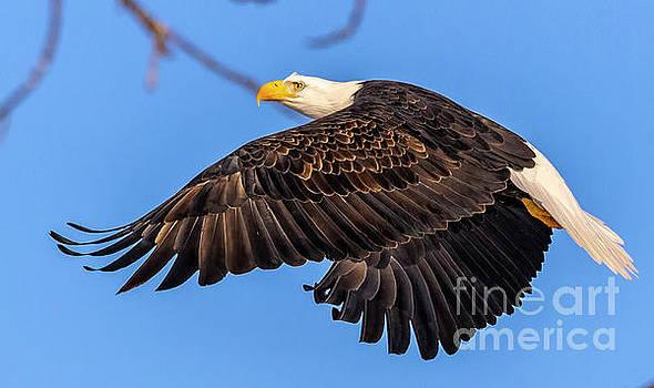 Eagle in Flight on sunny day by Randy Kostichka