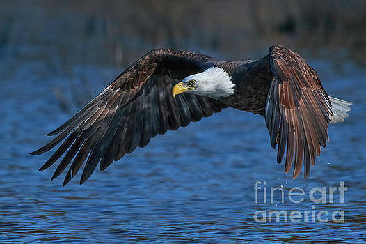 Eagle On Blue by Beth Sargent
