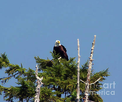 Eagle on top a tree by Jeff Swan
