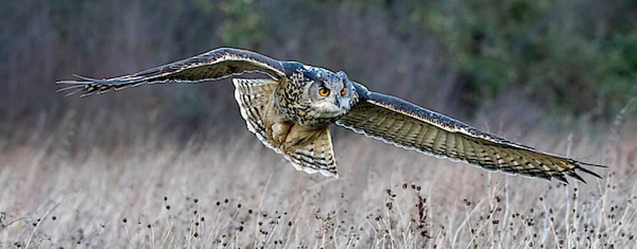 Mark Hunter - Eagle Owl Gliding