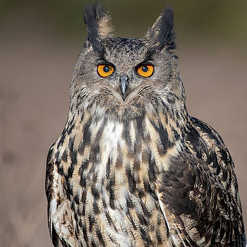 Mark Hunter - Eagle Owl Portrait