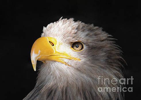 Eagle Portrait by Eyeshine Photography