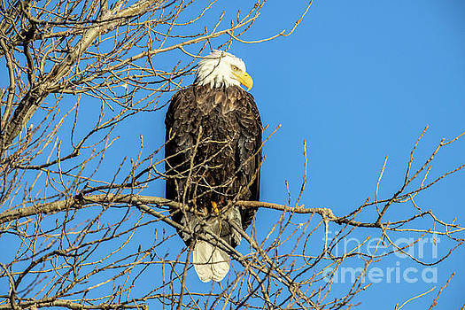 Eagle watching for food by Randy Kostichka