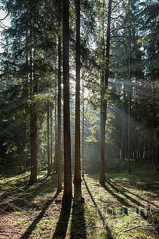 Early morning in coniferous forest by Michal Boubin