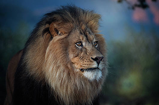 Early morning lion portrait by Gloria Anderson