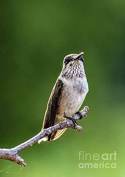 Early Morning Visitor - Ruby-throated Hummingbird by Cindy Treger