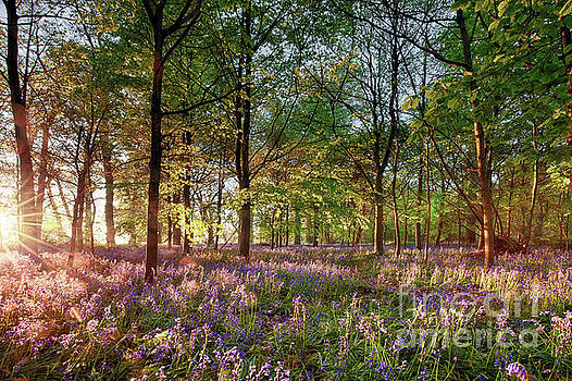 Simon Bratt Photography LRPS - Early sunrise in English bluebell forest
