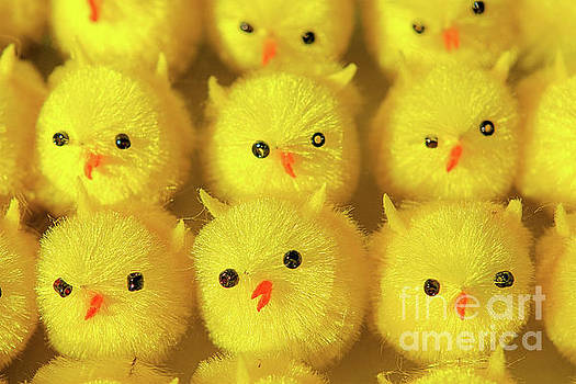 Easter Chicks by John Edwards