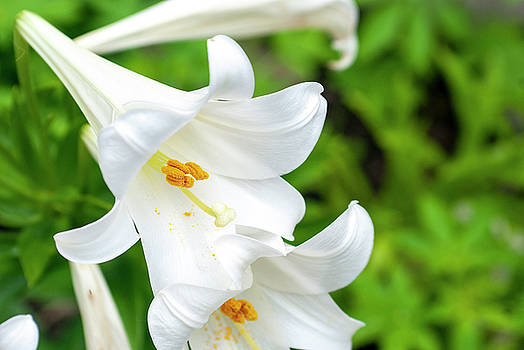 Easter Lily by Annette Persinger