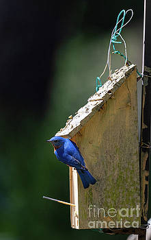 Dale Powell - Eastern Blue Bird - Bird House