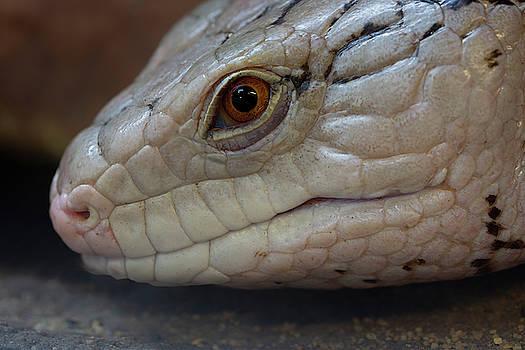 Eastern Blue Tongued Skink by Steev Stamford