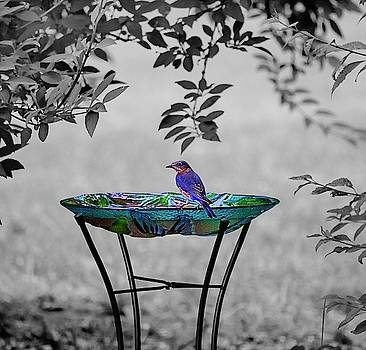 Eastern Bluebird by Andrea Swiedler