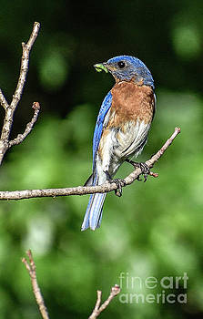 Eastern Bluebird Eager To Help by Cindy Treger