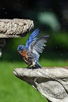 Eastern Bluebird Expressing Pure Delight by Cindy Treger