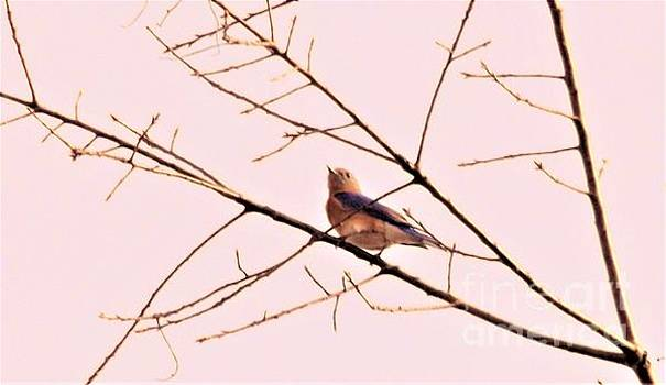 Eastern Bluebird Female             Spring           Indiana by Rory Cubel