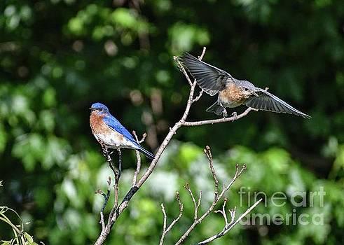 Eastern Bluebird Gotta Go by Cindy Treger