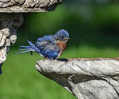 Eastern Bluebird In Need Of A Blower Dryer by Cindy Treger