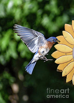 Eastern Bluebird Parents Job Is Never Done by Cindy Treger