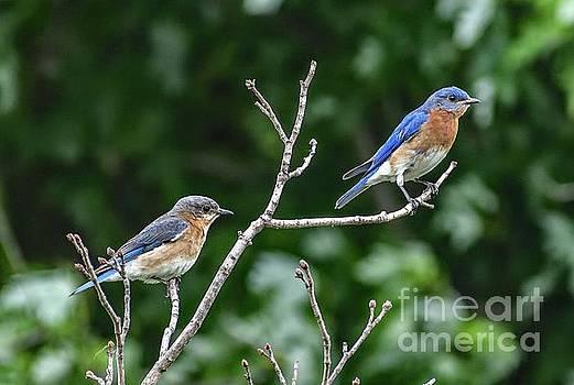 Eastern Bluebird Royals by Cindy Treger